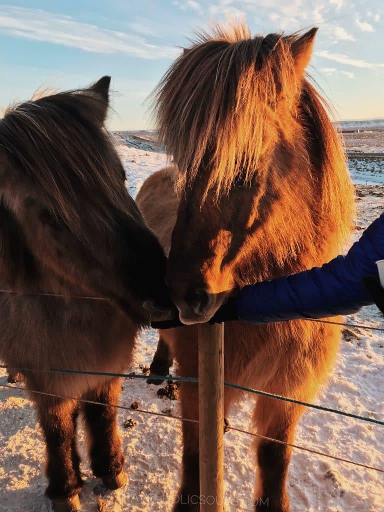 cosa vedere in Islanda i cavalli